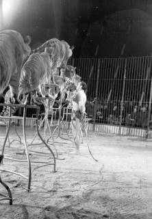 """ARH NL Dierssen 1178/0009, """"Tarzan mit Tiger"""" im Cirkus Busch aus Berlin, Seesen, 1952"""
