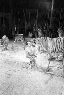 """ARH NL Dierssen 1178/0010, """"Tarzan mit Tiger"""" im Cirkus Busch aus Berlin, Seesen, 1952"""