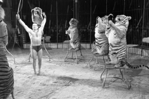 """ARH NL Dierssen 1178/0012, """"Tarzan mit Tiger"""" im Cirkus Busch aus Berlin, Seesen, 1952"""