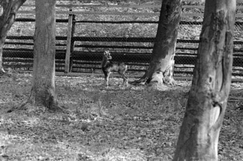 ARH NL Dierssen 1184/0011, Mufflon im Saupark, Springe, 1952