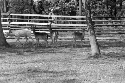 ARH NL Dierssen 1185/0001, Damwild im Saupark, Springe, 1952