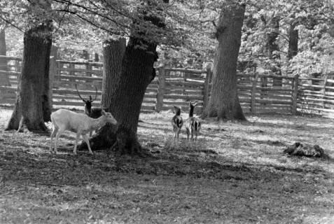 ARH NL Dierssen 1185/0002, Damwild im Saupark, Springe, 1952