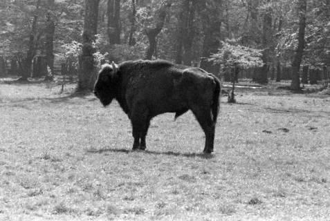 """ARH NL Dierssen 1185/0003, Wisentstier """"Springinsfeld"""" im Saupark, Springe, 1952"""