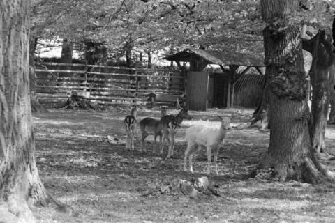 ARH NL Dierssen 1185/0004, Damwild im Saupark, Springe, 1952