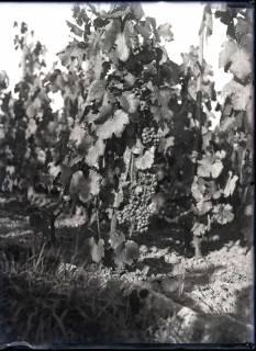 ARH NL Kageler 421, Weinlese (Rebe) in Ars-sur-Moselle, Frankreich, zwischen 1914/1918