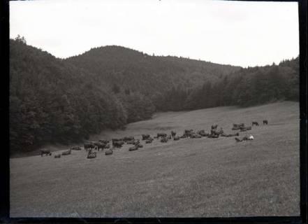ARH NL Kageler 572, Kuhherde vor Wieder, Harz, 1913