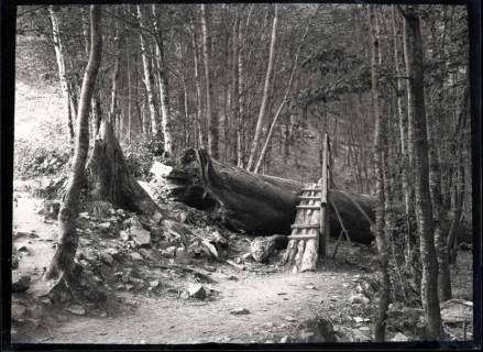 ARH NL Kageler 624, Umgestürzte Tanne, Harz, 1913
