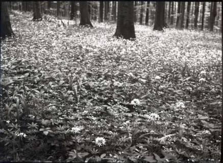 ARH NL Kageler 876, Lauchblüte am Hohenstein, Süntel, ohne Datum