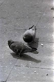 ARH NL Koberg 267, Tauben auf dem Ernst-August-Platz, Hannover, 1962