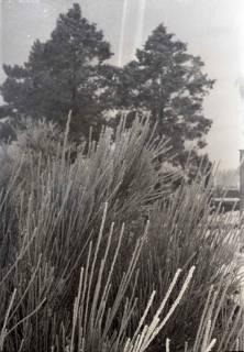 ARH NL Koberg 817, Rauhreif an Kiefernnadeln, 1964