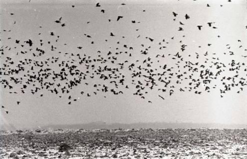 ARH NL Koberg 921, Krähenschwärme über der Mülldeponie, Altwarmbüchen, 1971