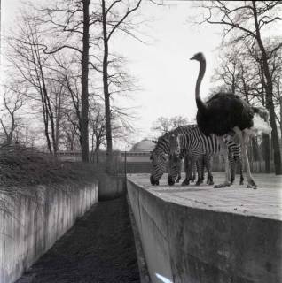 ARH NL Koberg 980, Strauß und Zebras im Zoo, Hannover, 1968