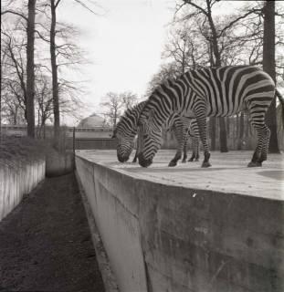 ARH NL Koberg 981, Zebras im Zoo, Hannover, 1968
