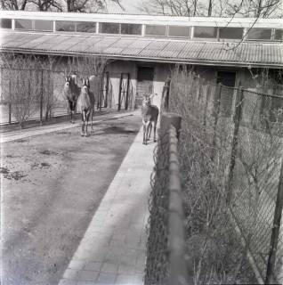 ARH NL Koberg 986, Antilopen im Zoo, Hannover, 1968
