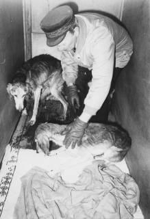 ARH Slg. Bartling 393, August Bolz mit zwei ausgemergelten Hunden in einer Transportbox, um 1974