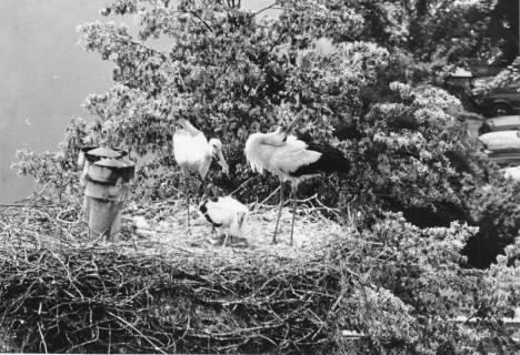 ARH Slg. Bartling 488, Storchennest mit Elternpaar und zwei Jungen, um 1975