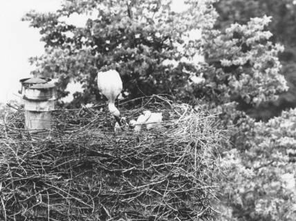 ARH Slg. Bartling 489, Storch im Nest mit zwei Jungen, um 1975