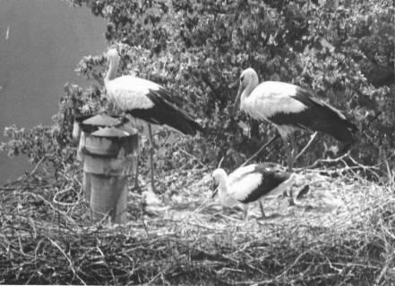 ARH Slg. Bartling 500, Storchennest mit Eltern und (großem) Jungen, um 1970