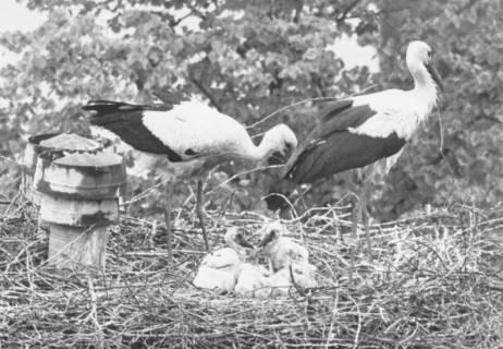 ARH Slg. Bartling 539, Storchennest mit Elternpaar und zwei Jungen, um 1975
