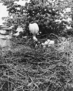ARH Slg. Bartling 542, Storchennest mit Storch, der die Jungen füttert, um 1975