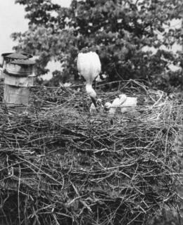 ARH Slg. Bartling 577, Storch bei der Fütterung der Jungen im Nest, um 1970